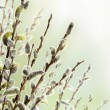 Foto de Stock  : Floral Border of Pussy Willow Flowers
