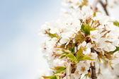 Kirschblüte grenze sehr flachen dof — Stockfoto