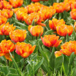 Planted Orange Tulips — Stock Photo
