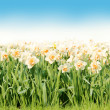 White Narcissus Border over Sky — Stock Photo