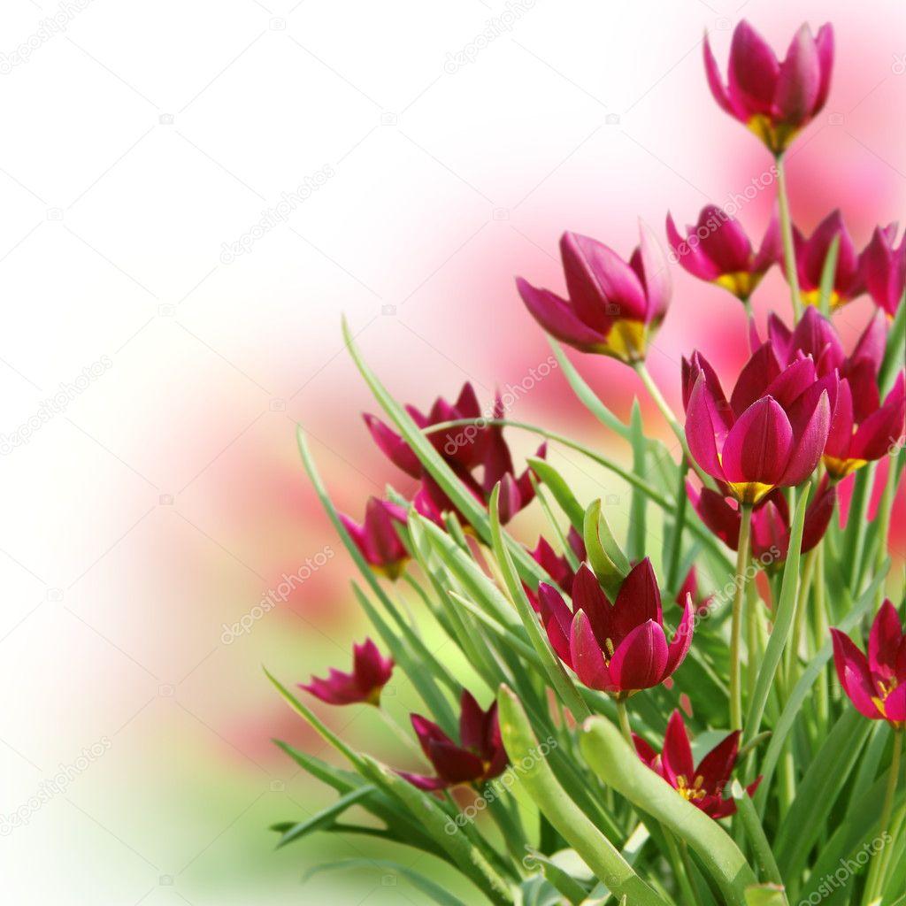 美丽的花番红花花边框方形卡