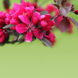 Pink Apple Blossom Border over Green — Stock Photo