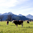 Happy german cows on green grass — Stock Photo
