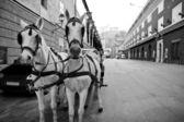 Riding horses in city center of Salzburg, Austria — Stock Photo