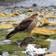 Falcon in Ushuaia — Stock Photo