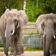 Stock Photo: Two elephants