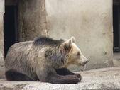Niedźwiedź brunatny — Zdjęcie stockowe