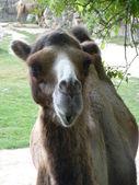 Camel zoom — Stock Photo