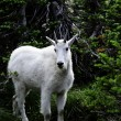 Mountain Goats at Glacier National Park — Stock Photo