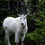 Mountain Goats at Glacier National Park — Stock Photo