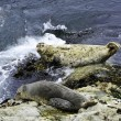 Two harbor seals - Stock Photo