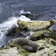 Stock Photo: Two harbor seals