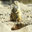 Black tailed prairie dog - Stock Photo