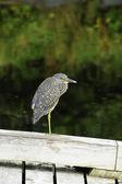 Black-crowned Night Heron — Foto Stock
