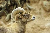 Desert big horn sheep — Stock Photo
