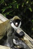 Schmidt's spot-nosed guenon — Stock Photo