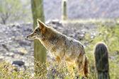Coyote — Stockfoto