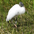 Wood Stork - Stock Photo