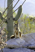 Coyote Yawning — Stock Photo