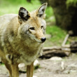 Stock Photo: Watchful Coyote