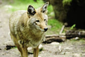 Watchful Coyote — Stock Photo