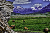 Herd of Buffalo — Foto de Stock