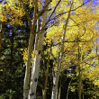 Aspens turning yellow in fall — Stock Photo
