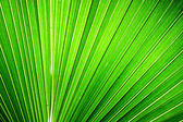 Chusan Palm Leaf section — Stock Photo