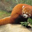 Red Panda — Stock Photo #6035671