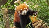 Красная панда — Стоковое фото