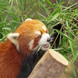 Red Panda — Stock Photo #6063235