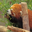 Red Panda — Stock Photo #6063237