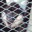 ストック写真: Close-up of Hooded Capuchin Monkey contemplating life behind b