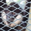 Close-up of a Hooded Capuchin Monkey contemplating life behind b — Foto de Stock