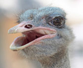 Ostrich portrait in the farm, close up, background — Stock Photo