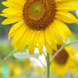 Stock fotografie: Sunflower