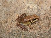 Yellow frog sitting — Stock Photo