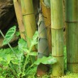 Shoot of Bamboo in the rain forest — Stock Photo