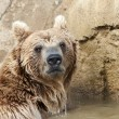 Brown Bear — Stock Photo #5563815