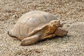 Jätten sköldpaddan — Stockfoto