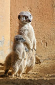 Mother and Baby Meerkats — Stock Photo