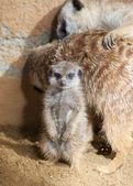 Baby Meerkat — Stock Photo