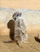 Bebê meerkat — Foto Stock