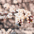 Stock Photo: White apricot blossoms