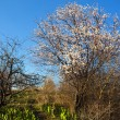 Blooming wild apricot tree - Stock Photo