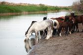 Koně na zálivky — Stock fotografie