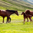 Stock Photo: Mares and foals