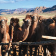 Stock Photo: Young camels in paddock