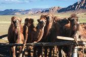 Mladí velbloudi v paddocku — Stock fotografie