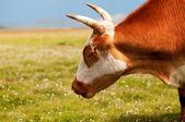 Cabeza de toro rojo — Foto de Stock